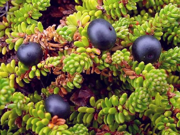 Crowberries Which Look Like Blueberries But With Diffe Leaves Taste Pretty Blah When Raw So Tend To Get Used For Pies