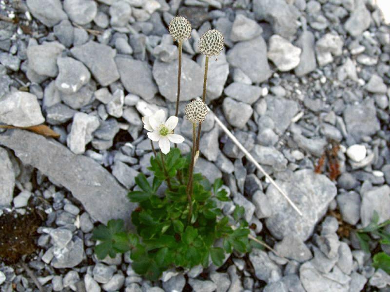 Digital Flora Of Newfoundland And Labrador Ranunculaceae